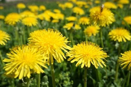 Dandelions - Spring Wild Green