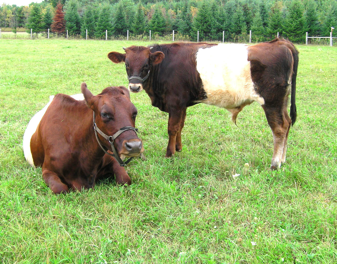 Dutch Belted Cow with  Bull Calf